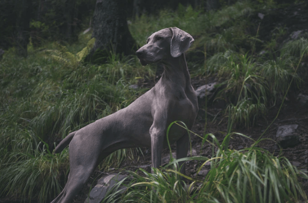 blue great dane puppies for sale in illinois