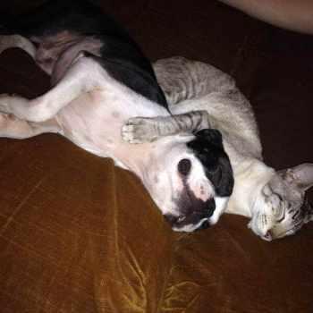 Boston Terrier Cat