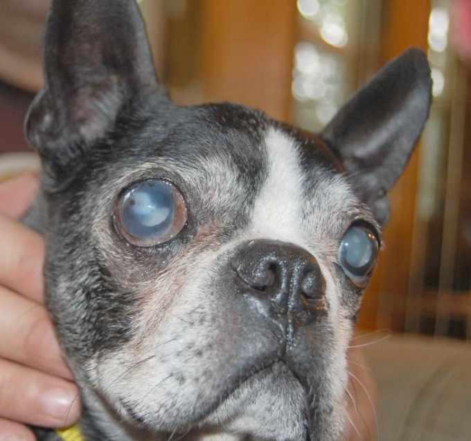 Boston Terrier Cataract