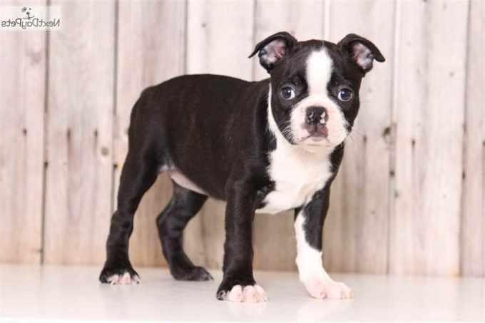 Boston Terrier Columbus Ohio