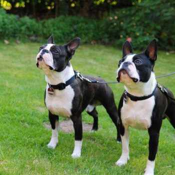 Boston Terrier Cost