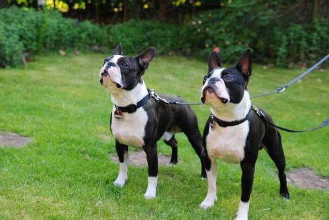 Boston Terrier Cost