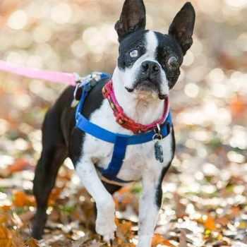 Boston Terrier Dog Rescue