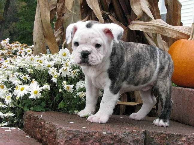 Boston Terrier English Bulldog Mix Puppies For Sale