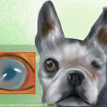 Boston Terrier Eye Problem