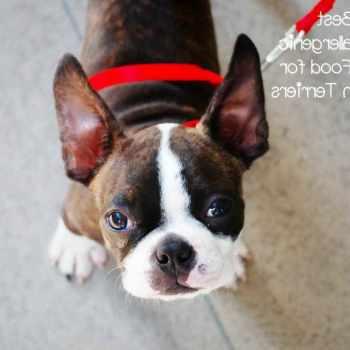 Boston Terrier Food Allergies