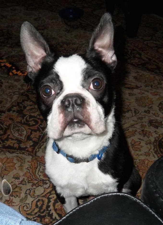 Boston Terrier For Adoption