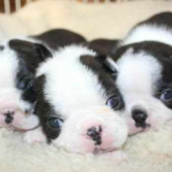 Boston Terrier For Sale California