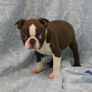 Boston Terrier For Sale Nj