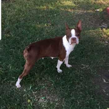 Boston Terrier For Sale San Antonio