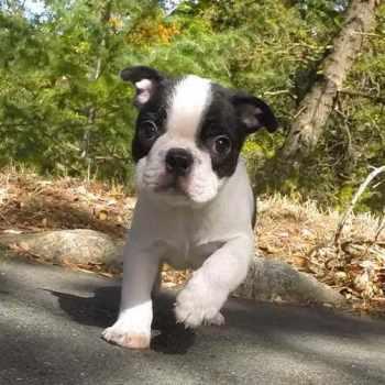Boston Terrier For Sale Washington
