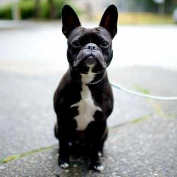 Boston Terrier French Bulldog Mix For Sale