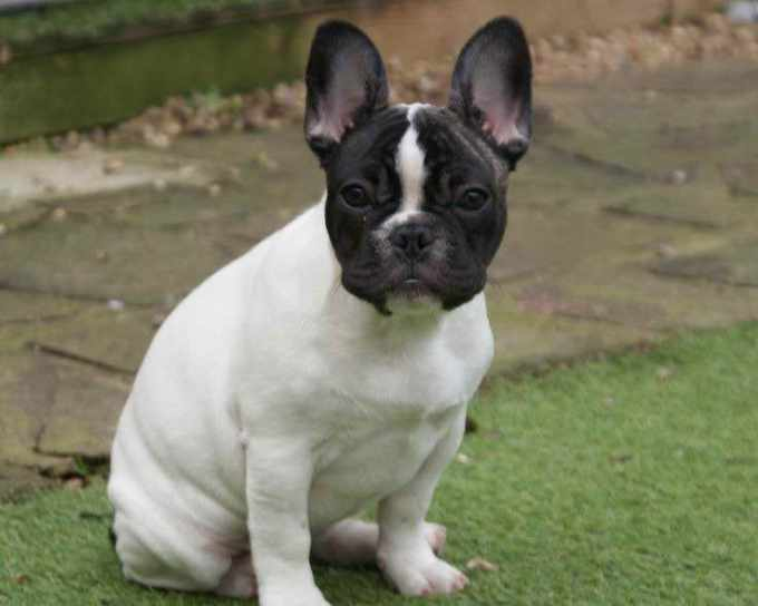 Boston Terrier French Bulldog Mix Puppies For Sale