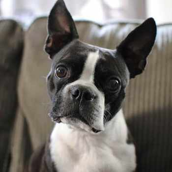 Boston Terrier Fun Facts