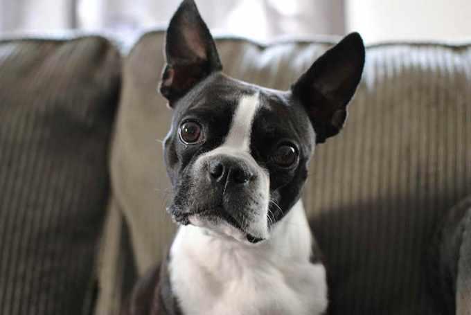 Boston Terrier Fun Facts