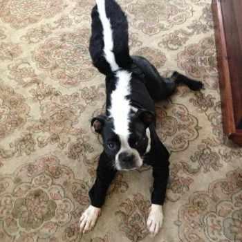 Boston Terrier Halloween Costume