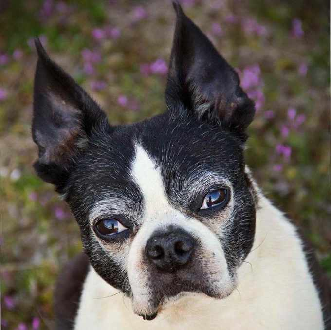 Boston Terrier In Oklahoma
