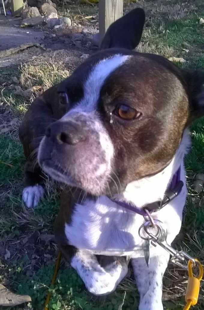 Boston Terrier Kansas City