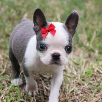 Boston Terrier Kennels