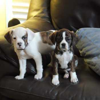 Boston Terrier King Charles Cavalier Mix For Sale