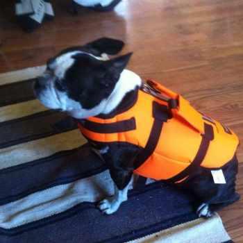 Boston Terrier Life Jacket