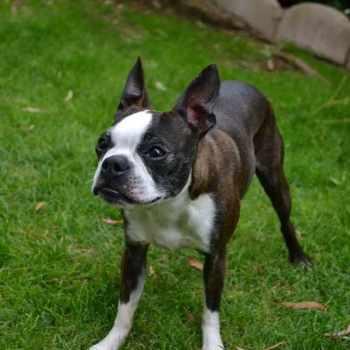 Boston Terrier Los Angeles