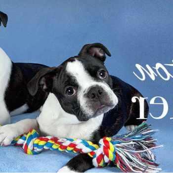 Boston Terrier Miami