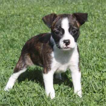 Boston Terrier Mix Puppy