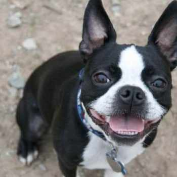 Boston Terrier Muzzle