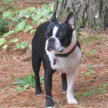 Boston Terrier Nc