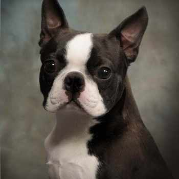 Boston Terrier Near Me