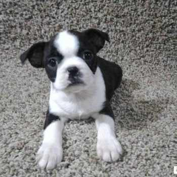 Boston Terrier Ohio