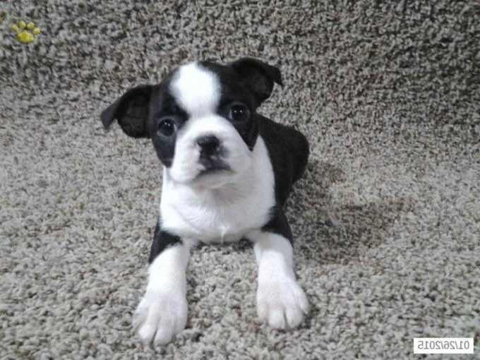 Boston Terrier Ohio