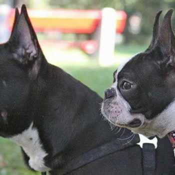 Boston Terrier Or French Bulldog