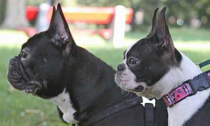 Boston Terrier Or French Bulldog