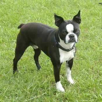 Boston Terrier Oregon