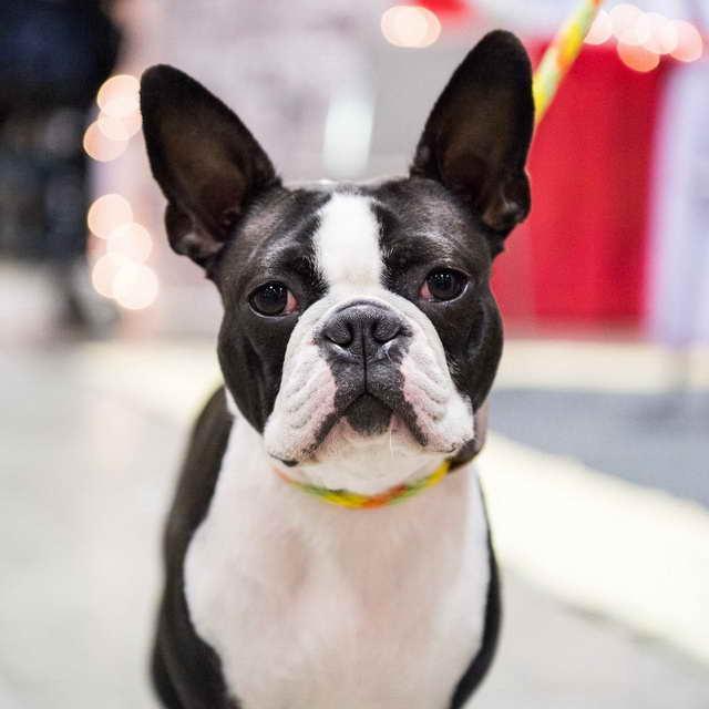 Boston Terrier Orlando