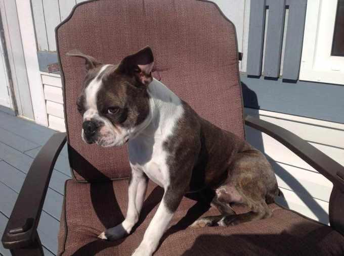 Boston Terrier Patellar Luxation