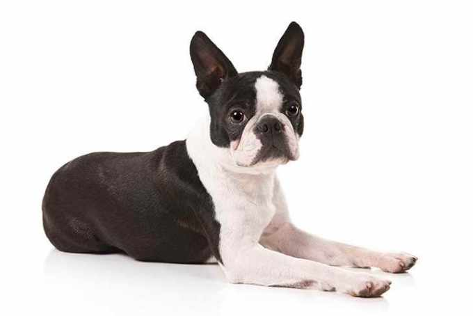Boston Terrier Pic