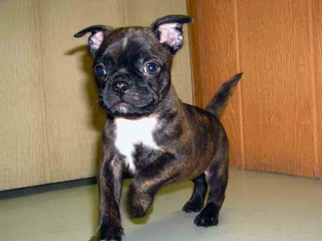 Boston Terrier Pug Mix For Sale