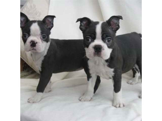 Boston Terrier Pupies For Sale
