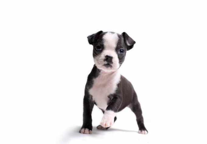 Boston Terrier Puppies Akc