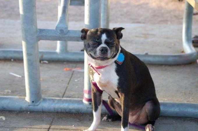 Boston Terrier Puppies Austin Tx