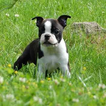 Boston Terrier Puppies Austin