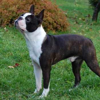 Boston Terrier Puppies Buffalo Ny