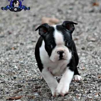 Boston Terrier Puppies Charlotte Nc