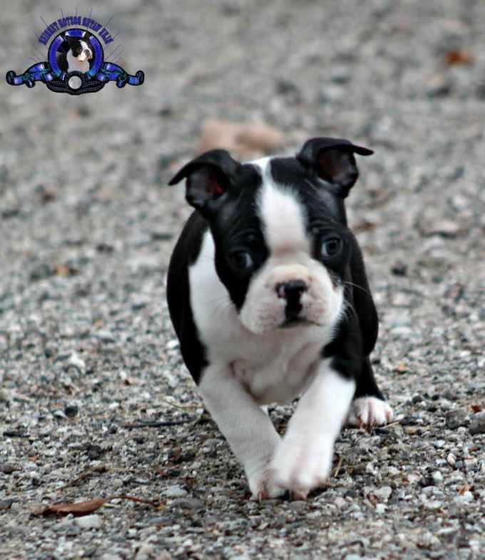 Boston Terrier Puppies Charlotte Nc