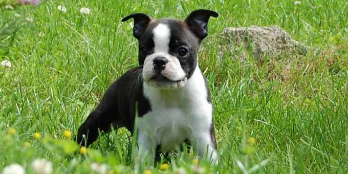 Boston Terrier Puppies Cost