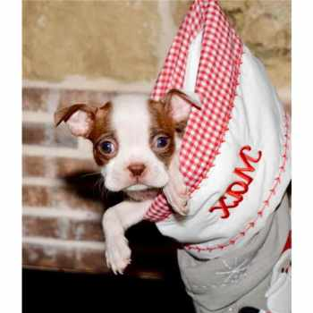 Boston Terrier Puppies Dallas