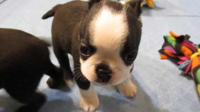Boston Terrier Puppies Denver